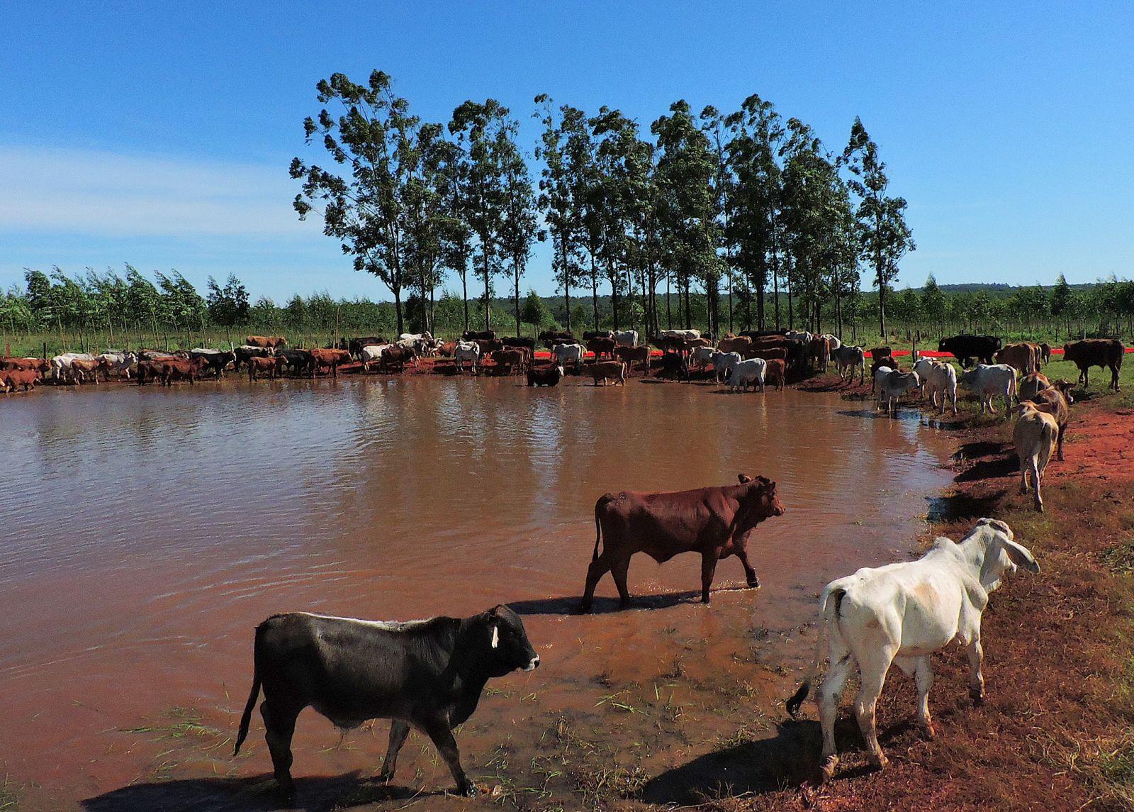 """""""Tienen que mejorar los precios del ganado para hablar de aumento del hato ganadero"""""""