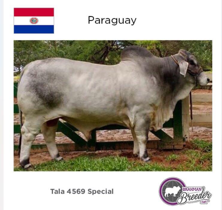 """Campeones Brahman """"made in Paraguay"""" compiten con los mejores del mundo en EE.UU."""